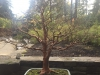 Portland Japanese Garden – bonsai naked tree!