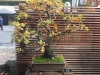 Portland Japanese Garden – bonsai exhibit