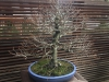 Portland Japanese Garden – another bonsai naked tree!