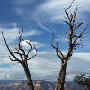 Grand Canyon – freaky trees