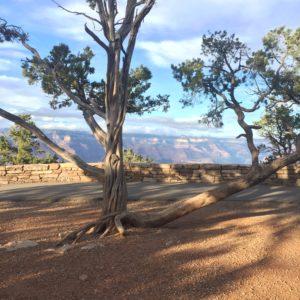 Grand Canyon – sideways tree