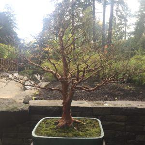 Portland Japanese Garden – bonsai naked tree!