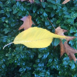 Portland Rose Garden – sharp leaf!