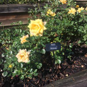 Portland Rose Garden – Texas rose